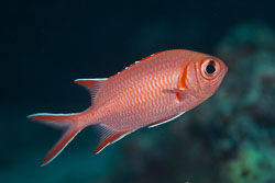 BD-150421-Maldives-7457-Myripristis-vittata.-Valenciennes.-1831-[Whitetip-soldierfish].jpg